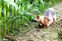 2015-06 Benji Playing in the Corn Fields, Oregon, Ohio, USA