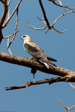 Black Winged Kite Lunch