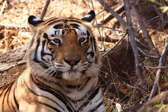 Royal Bengal Tiger - Resting