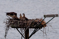 2009-07 Osprey Nest, Alum Creek, Delaware, Ohio, USA